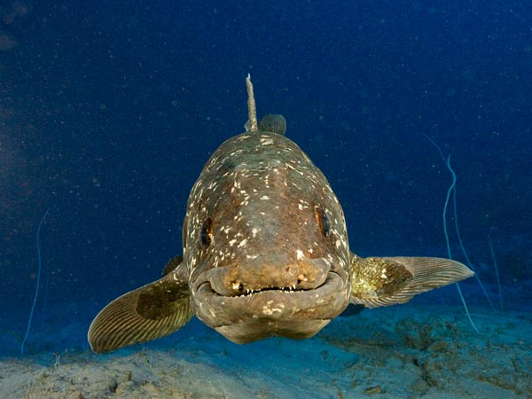 coelacanth-living-fossil-fish-long-life-span_36320_600x450