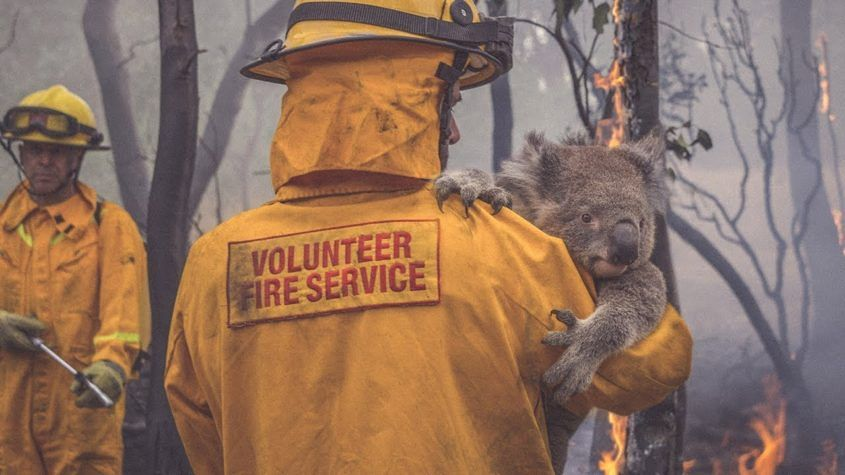 A volunteer firefighter carries an injured koala from a bushfire. One third of New South Wales' koala is believed to have died in the fires. Image: NRMA